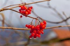 Rode bessen van een viburnum met regendruppels Stock Afbeeldingen