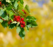 Rode bessen van haagdoorn op gele de herfstachtergrond Stock Afbeelding
