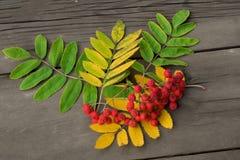 Rode bessen van lijsterbes met groene en gele bladeren op DA royalty-vrije stock afbeeldingen