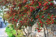Rode bessen van lijsterbes op groene boom op de oude steenmuur Stock Afbeeldingen