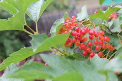 Rode bessen van viburnum op een tak stock foto's