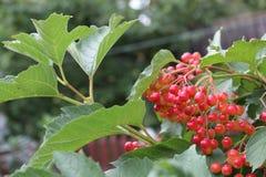 Rode bessen van viburnum op een tak stock afbeelding