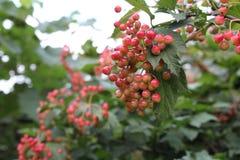 Rode bessen van viburnum op een tak stock fotografie