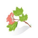 Rode bessen van viburnum op a op witte achtergrond Royalty-vrije Stock Afbeelding
