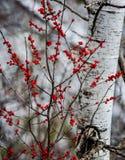 Rode bessen voor berkboom De kleuren van de daling stock afbeeldingen