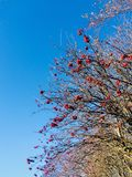 Rode bessenboom royalty-vrije stock afbeeldingen