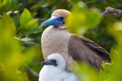 Rode Betaalde Domoorvogel met een jong kuiken op de Eilanden van de Galapagos royalty-vrije stock foto's