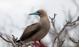 Rode Betaalde Domoorvogel op de Eilanden van de Galapagos stock foto