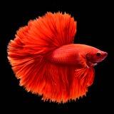 Rode Betta Siamese-het vechten vissen royalty-vrije stock afbeeldingen