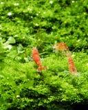 Rode Bijen Siergarnalen in Aquascaping stock fotografie