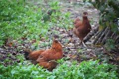 Rode Binnenlandse Kippen Royalty-vrije Stock Foto's