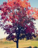 Rode bladboom Stock Foto