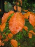 Rode bladeren Royalty-vrije Stock Afbeelding