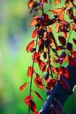 Rode bladeren Stock Foto's