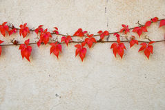 Rode bladeren Stock Fotografie