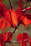 Rode bladeren Royalty-vrije Stock Fotografie