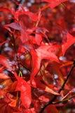 Rode bladeren bij daling Stock Afbeeldingen