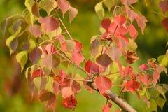 Rode Bladeren in de Herfst stock fotografie