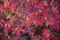 Rode bladeren in de herfst royalty-vrije stock afbeelding