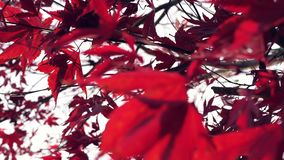 Rode Bladeren in de Herfst stock video