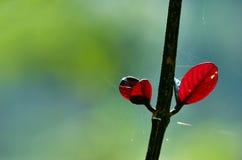 Rode bladeren die zich alleen - groeiend concept bevinden - met zachte groene bac Stock Foto's