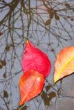 Rode bladeren en bezinning Stock Foto