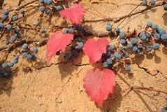 Rode bladeren en drassige vruchten Stock Afbeeldingen