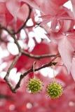 Rode bladeren en groene zaden Royalty-vrije Stock Foto