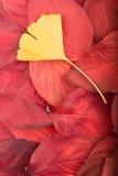 Rode bladeren en het blad autm achtergrond van gingkobiloba Stock Afbeelding