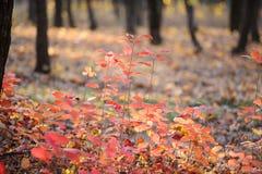 Rode Bladeren in het Bos Stock Foto