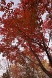 Rode bladeren lang in daling stock afbeelding