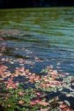 Rode bladeren op de oppervlakte van het meer Stock Afbeelding