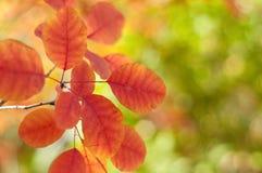 Rode bladeren op een boom in de herfst Stock Afbeelding