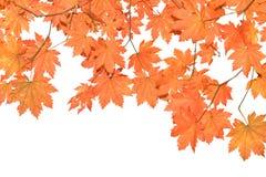 Rode bladeren op witte achtergrond Stock Afbeelding