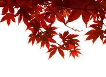 Rode bladeren op witte achtergrond Stock Afbeeldingen