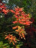 Rode bladeren in tegenstelling tot donkergroene bomen Stock Afbeeldingen