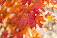 Rode bladeren tijdens het seizoen van de de herfstdaling in van Zuid- onderstel torenhoog botanisch tuinen Australië op 16 April  royalty-vrije stock foto's