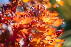 Rode bladeren tijdens het seizoen van de de herfstdaling in van Zuid- onderstel torenhoog botanisch tuinen Australi? op 16 April  royalty-vrije stock afbeeldingen