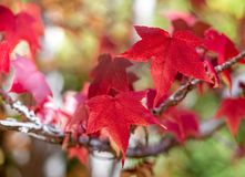 Rode bladeren tijdens het seizoen van de de herfstdaling in van Zuid- onderstel torenhoog botanisch tuinen Australi? op 16 April  royalty-vrije stock fotografie
