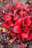 Rode Bladeren op Toendra Royalty-vrije Stock Afbeeldingen