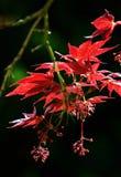 Rode bladeren van de boom van de fullmoonesdoorn Stock Foto's