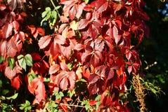 Rode bladeren van de druiven royalty-vrije stock foto