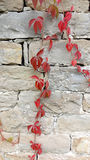 Rode bladeren van klimop op steenmuur Stock Afbeeldingen