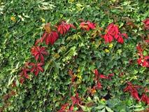 Rode bladeren van wilde wingerd en groene bladeren van klimop Royalty-vrije Stock Foto's