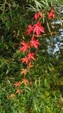Rode bladeren van wilde wingerd het hangen op de boom Royalty-vrije Stock Afbeelding