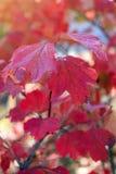 Rode bladeren in zonnige de herfstdag royalty-vrije stock foto