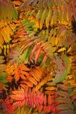 Rode bladerenachtergrond. Stock Foto