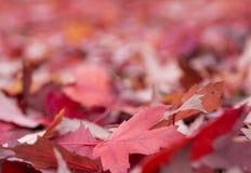 Rode bladerenachtergrond Royalty-vrije Stock Fotografie