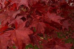rode bladerenachtergrond Stock Afbeelding
