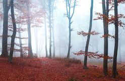 Rode bladerenbomen in humeurige mistige bos Donkere atmosfeer royalty-vrije stock foto's